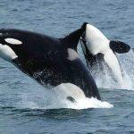 orca web